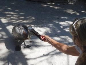 Pélican au Centre Save our Seabirds sur Lido Key à Sarasota