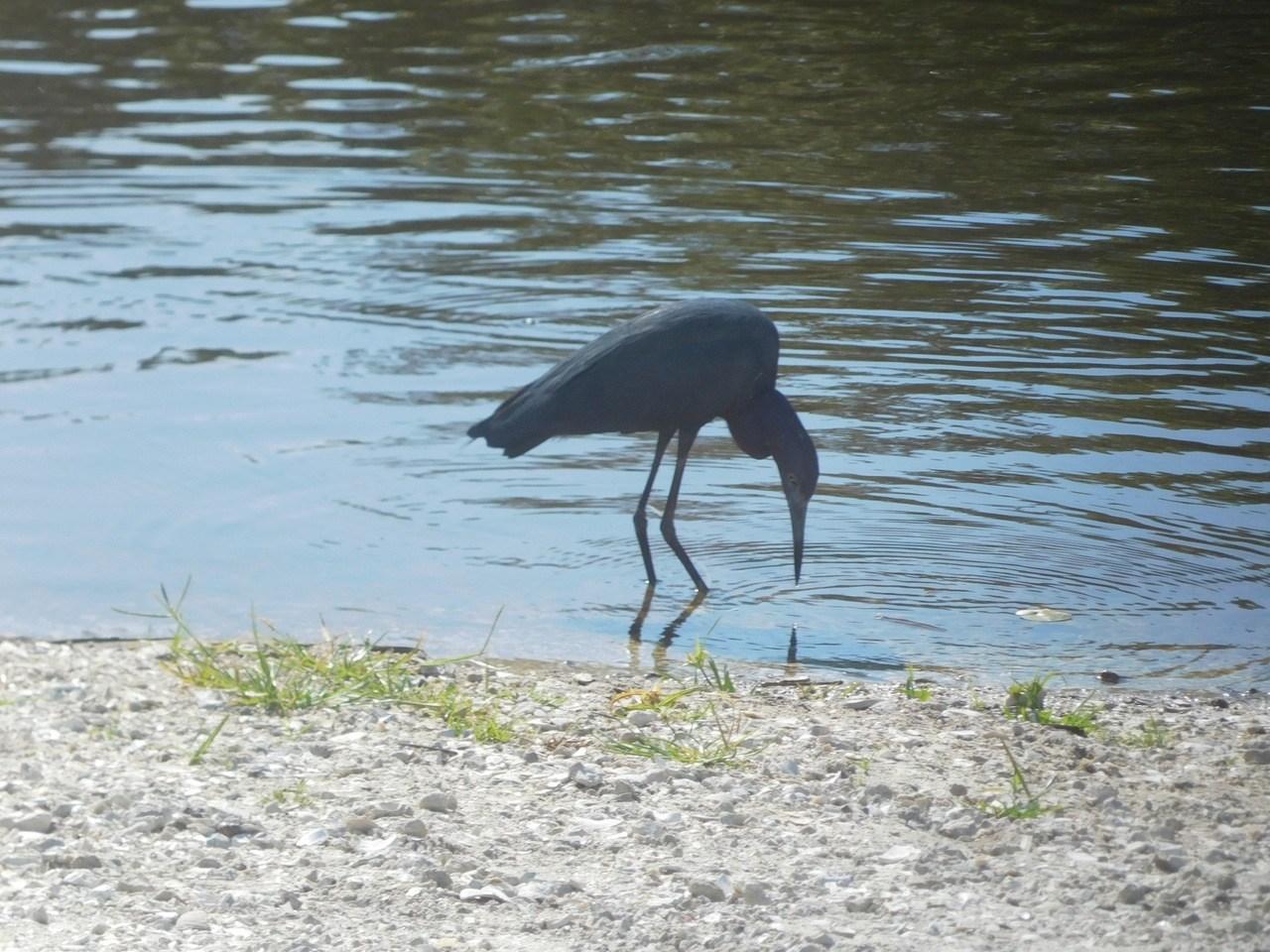 Grand héron bleu au Myakka River State Park / Sarasota / Floride
