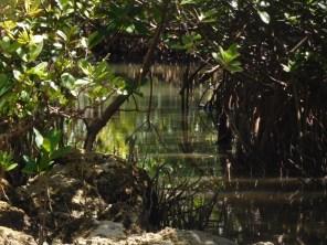 Mangrove à Sandspur Island / Miami Beach