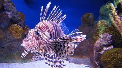 Photo of Le poisson-lion : ce bel intrus qui dévore les mers des Caraïbes