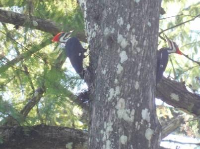 Piverts au Corkscrew Swamp Sanctuary (Audubon Center dans les Everglades à Naples / Floride)
