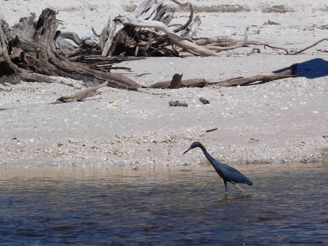Héron bleu sur la Plage de Clam Pass Park à Naples en Floride