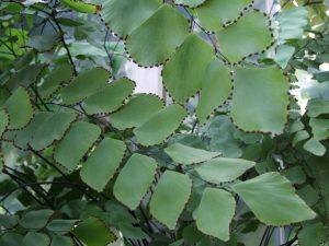 adiantum_peruvianum-22
