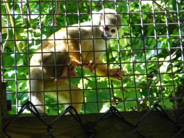Singe capucin à Monkey Jungle (à Homestead, au sud de Miami)