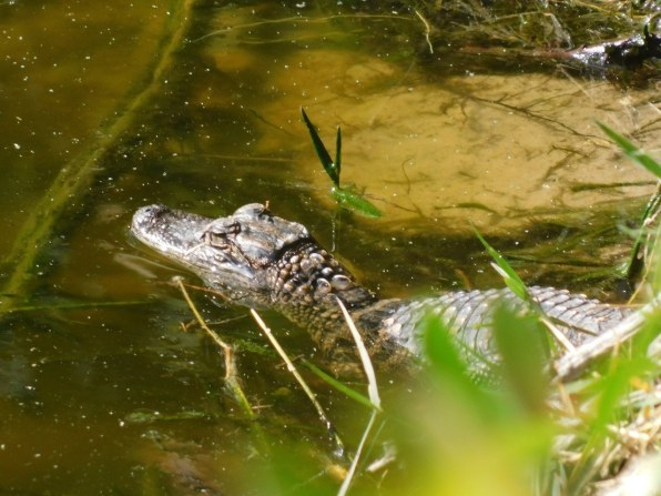 Alligator près du Fakahatchee Boardwalk (Everglades)