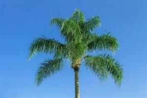 palmier-royal