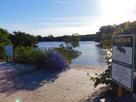 Alligators dans la Mangrove de Lovers Key en Floride