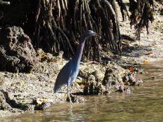Héron bleu dans la Mangrove de Lovers Key en Floride