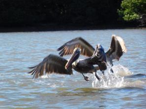 Pélicans dans la Mangrove de Lovers Key en Floride