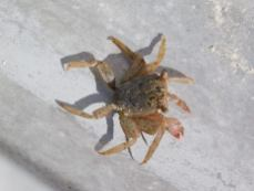 Crabe / Lovers Key en Floride