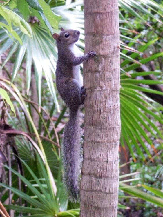 Ecureuil à Crane Point Park sur l'île de Marathon, dans les Keys de Floride
