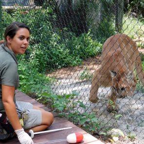 Mikko, panthère de Floride au Zoo de Palm Beach.