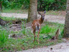 Biche à Riverbend Park à Jupiter (Floride)