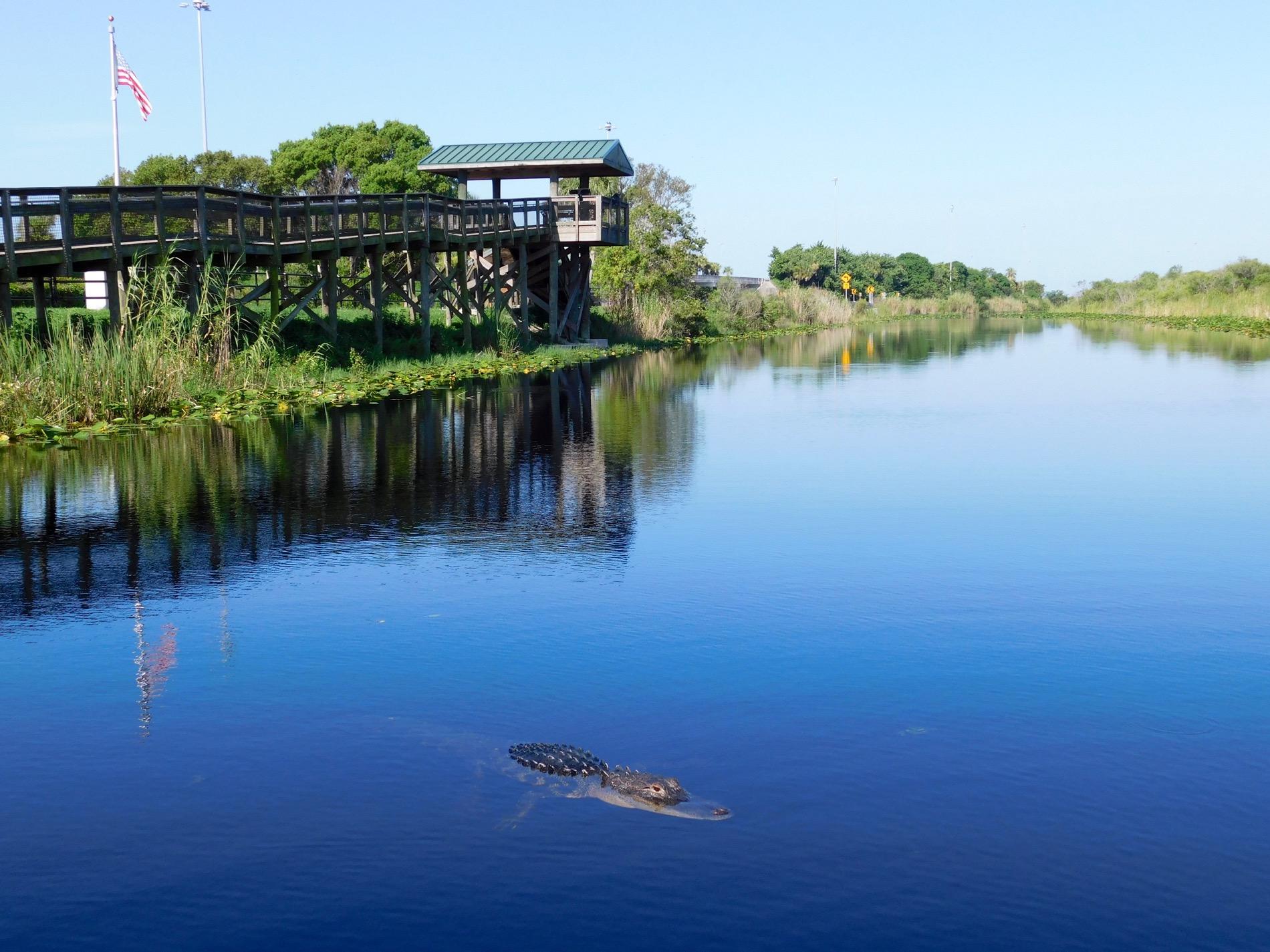 Alligator dans les Everglades