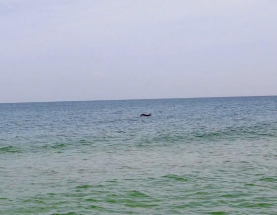 Dauphin sur l'île de Cayo Costa (entre Captiva et Boca Grande, dans le comté de Lee en Floride)