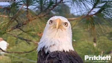 Photo of Découvrez Harriet : l'aigle à tête blanche de Fort Myers