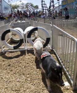 Florida State Fair - Hollywood Pig Racing - Tampa