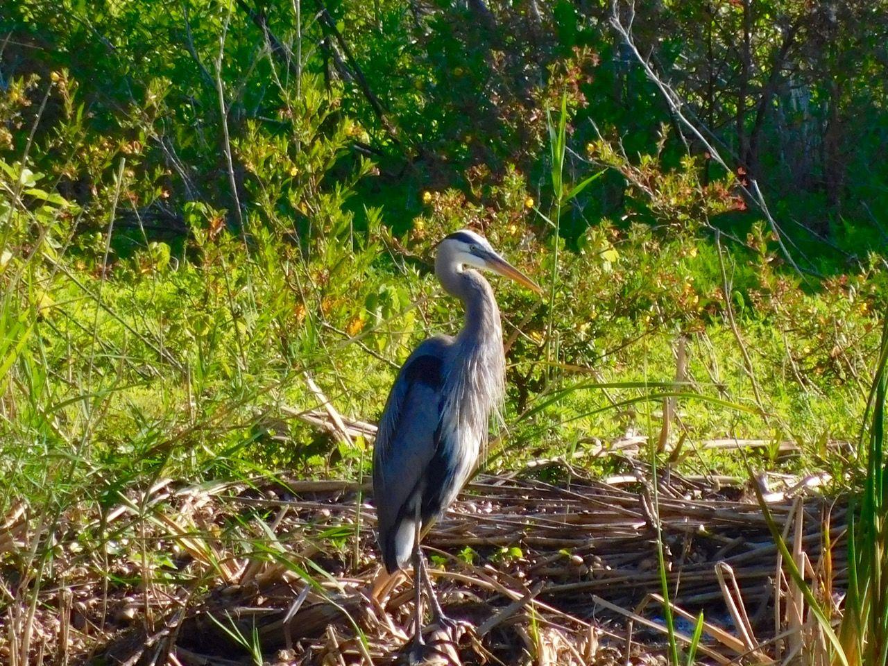 Héron bleu sur le Lac Okeechobee à Clewiston, en Floride