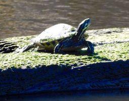 Tortue sur le Lake Okeechobee à Moore Haven (Floride)