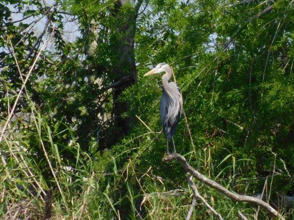 Héron bleu sur le Lake Okeechobee à Moore Haven en Floride