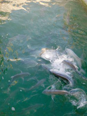 Tarpons à Robbie's Marina, à Islamorada dans l'archipel des Keys de Floride