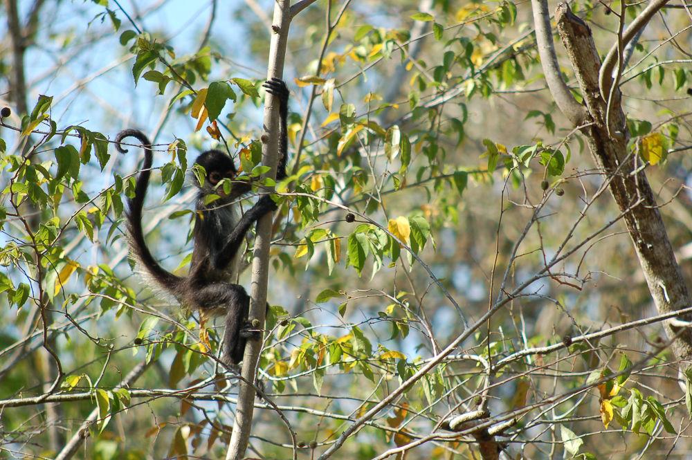 Un singe-araignée à Punta Laguna.