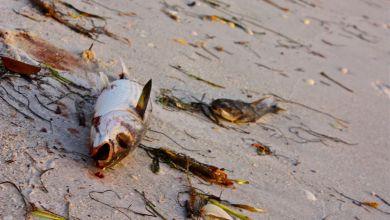 Photo of Alerte : les deux côtes de Floride touchées par les algues toxiques