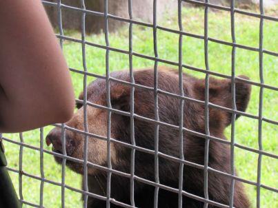 Ours brun de Floride au Zoo de Miami