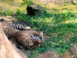 Jaguar au Zoo de Miami