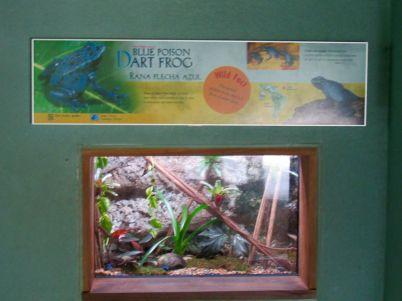 Grenouilles bleues d'Amazonie au Zoo de Miami