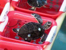 Gumbo-Limbo-Nature-Center-tortues-Boca-Raton-1313