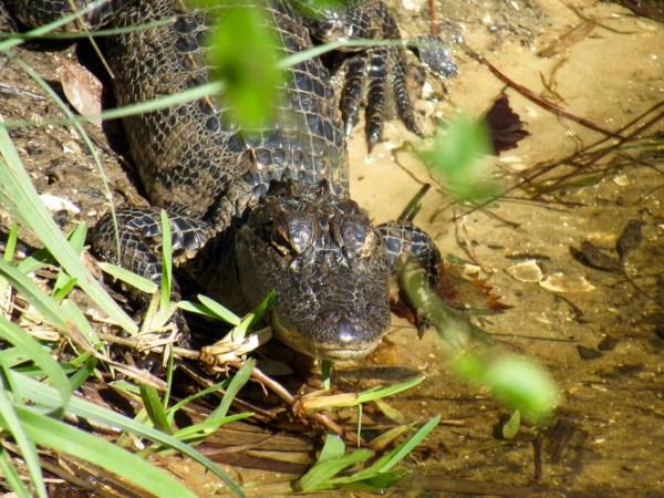 Bébé alligator au Babcock Ranch Preserve, à Punta Gorda en Floride