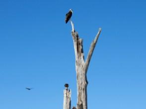 Balbuzard au dessus de la plage du Stump Pass State Park à Englewood en Floride