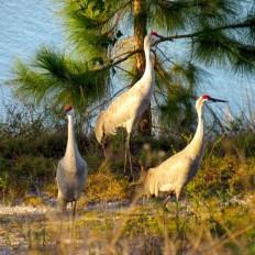 Grues de Floride au parc Okeeheelee Park de West Palm Beach