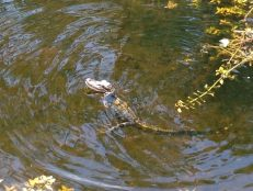Alligators le long de la Loop Road dans les Everglades - Floride