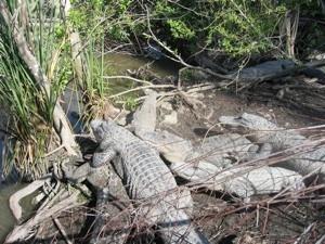 alligators Floride