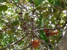 Iguane à Bahia Honda dans les îles Keys de Floride
