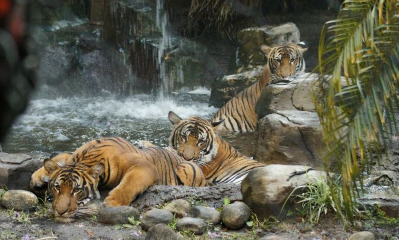 Tigres Zoo de palm beach Floride