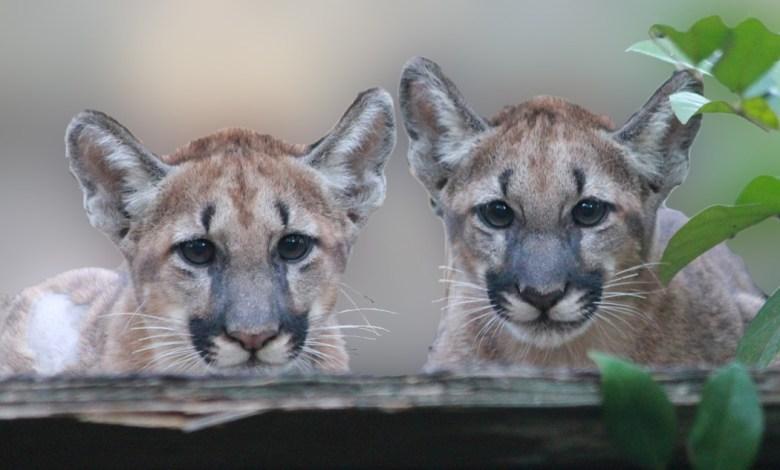 Deux bébés orphelins élevés à White Oak (Floride)