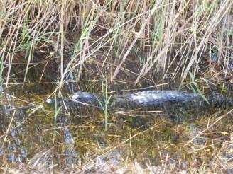 Alligator Anhinga Trail Royal Palm (Flamingo -Everglades national Park)