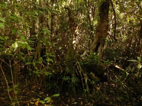 Mangrove - Gumbo Limbo à Royal Palm (Flamingo -Everglades national Park)