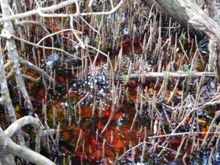 Mangrove à West Lake (Flamingo -Everglades national Park)