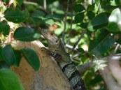Iguane - Chemins forestiers de Crandon Park / Key Biscayne / Miami / Floride