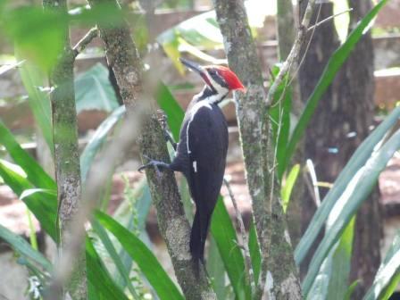 Pivert au Corkscrew Swamp Sanctuary (Audubon Center dans les Everglades à Naples / Floride)