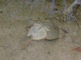 Limule dans la mangrove de Big Pine Key en Floride.