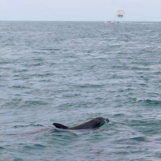 Dauphins au large de Key West en Floride