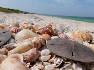 Coquillages sur l'île de Cayo Costa (entre Captiva et Boca Grande, dans le comté de Lee en Floride)