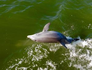 Sauts de dauphins entre les îles de Captiva, Pine Island et Cabbage Key