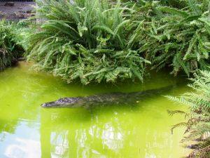 alligator aux Flamingo gardens de Davie en Floride