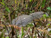 Alligator au Wakodahatchee Wetlands à Delray Beach